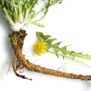Сушен корен от ГЛУХАРЧЕ